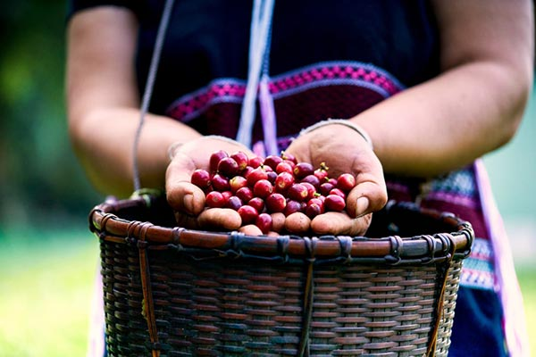 From Seed to Cup, the Extraordinary Process of Coffee Production
