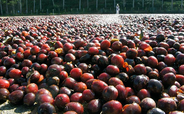 Dry Method coffee cherries